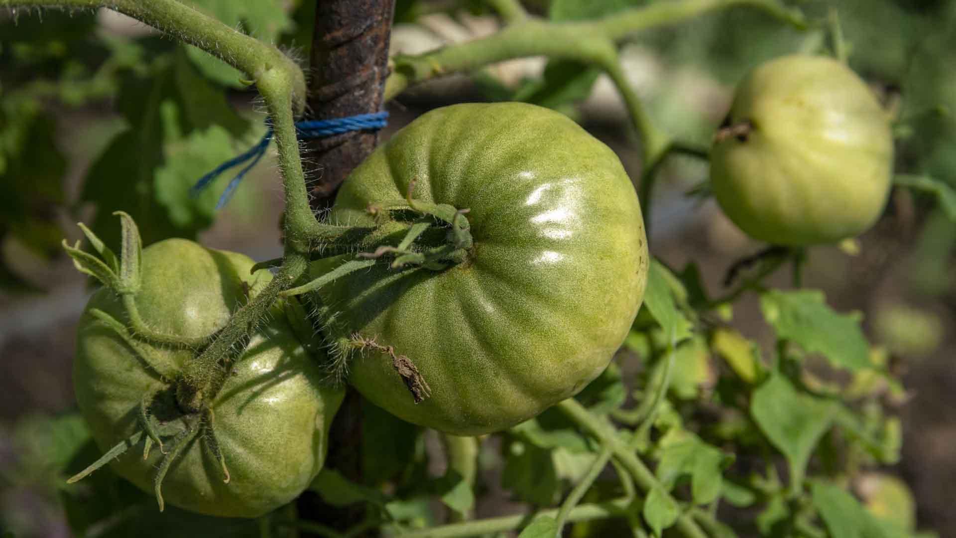Ripening Tomatoes VI