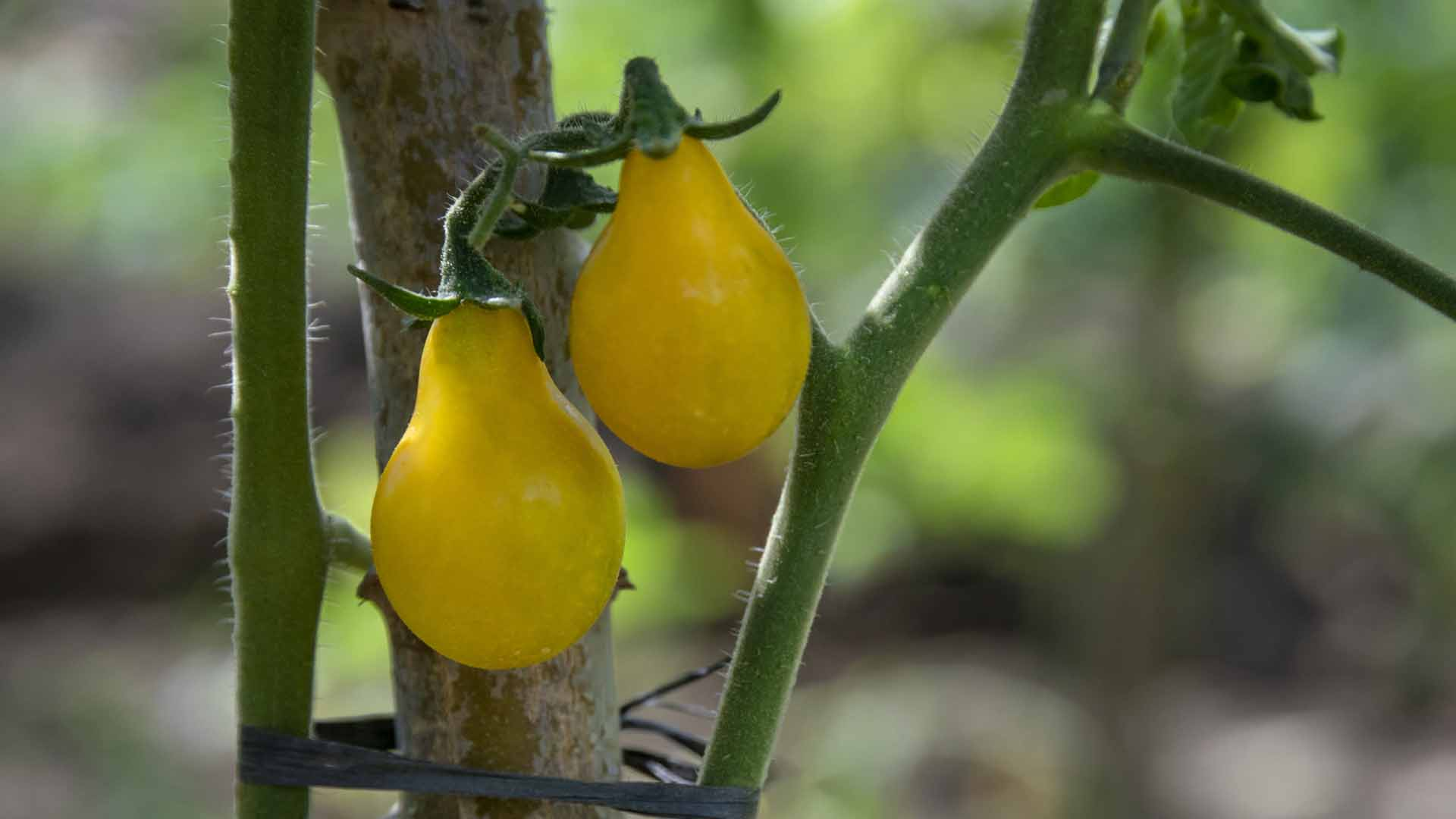 Yellow Tomatoes II